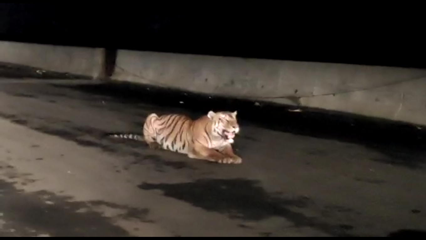 Tiger appeared on the road